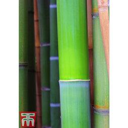 Bisset's Bamboo