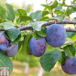 Plum 'Black Amber' (Mini Fruit Tree)