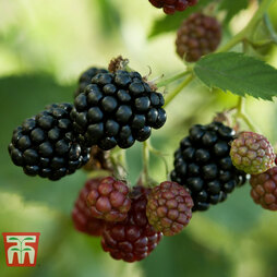 Blackberry 'Thornless Evergreen'