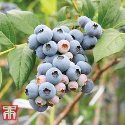 Blueberry 'Powder Blue'
