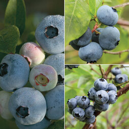 Blueberry 'Full Season Collection'
