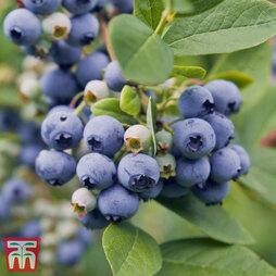 Blueberry 'Spartan'
