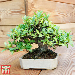 Bonsai Carmona microphylla (House Plant)