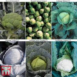 Brassica 'Clubroot Resistant Collection'