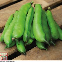 Broad Bean 'Perla'
