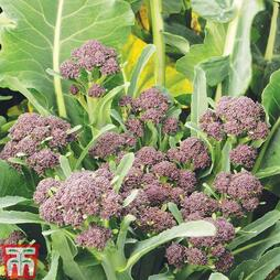 Broccoli 'Summer Purple' (Purple Sprouting)