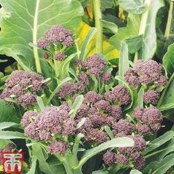 Broccoli 'Summer Purple' (Purple Sprouting)