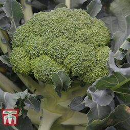 Broccoli 'Komodo' (Calebrese)