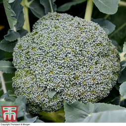 Broccoli 'Green Magic' (Calabrese)