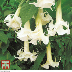 Datura metel 'Double White Lady'