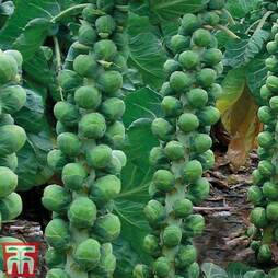 Brussels Sprout 'Brodie' F1 Hybrid