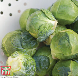 Brussels Sprout 'Bright' F1 Hybrid