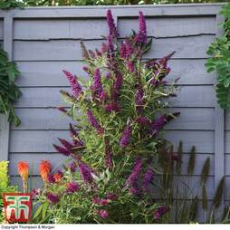 Buddleja 'Butterfly Towers'