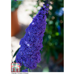 Buddleja 'Buzz® Sky Blue'