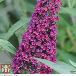 Buddleja 'Buzz Velvet Red'