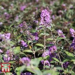Buddleja 'Lo & Behold - Lilac Chip'