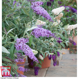 Nurserymans Choice Buddleja Buzz®