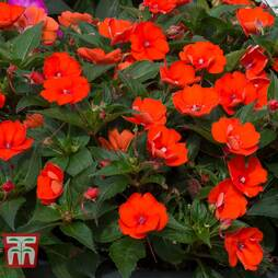 Busy Lizzie 'Sunpatiens Electric Orange' (New Guinea)