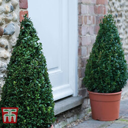 Buxus 'Pyramid' Duo - Gift