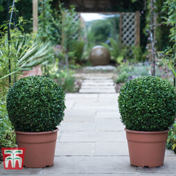 Buxus 'Ball' Duo - Gift