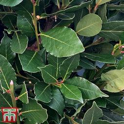 Laurus nobilis 'Bay Junior' (Standard)