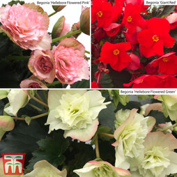 Begonia Experimental Collection