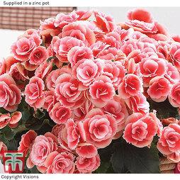 Begonia 'Borias Rosebud' - Gift