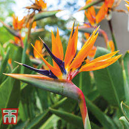 Strelitzia 'Bird of Paradise' - Gift