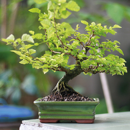 Bonsai Japanese Elm - Gift