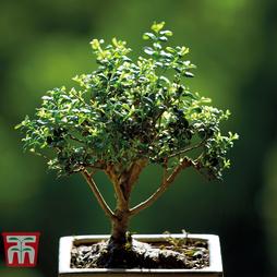 Bonsai Privet - Gift