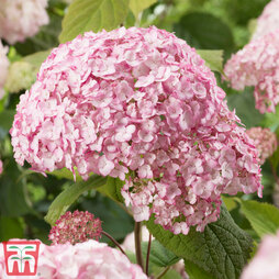 Hydrangea arborescens 'Candybelle Bubblegum'