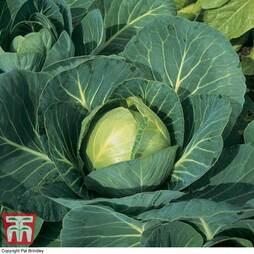 Cabbage 'Minicole' F1 Hybrid (Autumn)