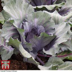 Cabbage 'Red Jewel' F1 Hybrid (Summer/Autumn)