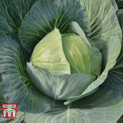Cabbage 'Gilson' F1 Hybrid (Autumn)