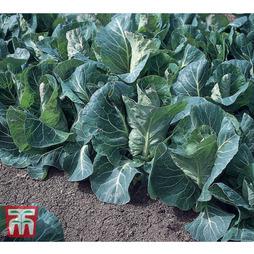 Cabbage 'Advantage' F1 Hybrid (Spring)
