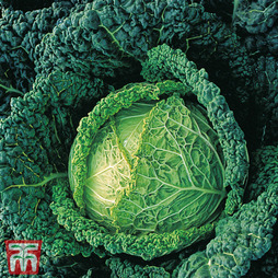 Cabbage 'Endeavour' F1 hybrid (Winter Savoy)