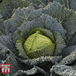 Cabbage 'Cordesa' (Autumn Savoy)