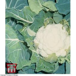 Cauliflower 'Pavilion' F1 Hybrid (Autumn)