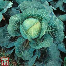 Cabbage 'Kilaton' F1 Hybrid (Autumn)