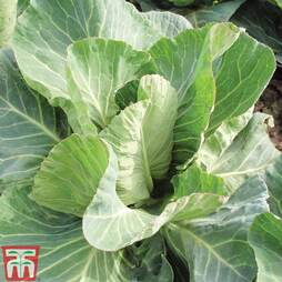 Cabbage 'Summer Jewel'