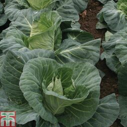 Cabbage 'Merlin' F1 Hybrid (Summer)