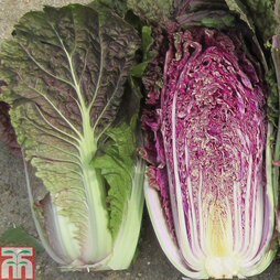 Cabbage chinese 'Scarvita' F1 Hybrid (Autumn)