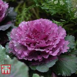 Cabbage Ornamental Rose Bouquet F1 Hybrid (Red Pigeon)