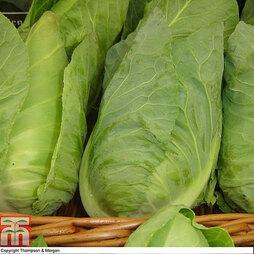 Cabbage 'Dutchman' (Summer)