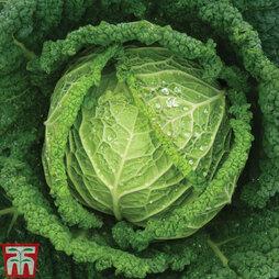 Cabbage 'Serpentine' F1 Hybrid (Summer Savoy)