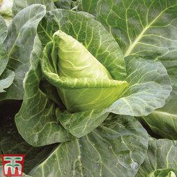 Cabbage 'Duchy' F1 Hybrid (Spring/Summer/Autumn)