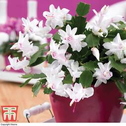 Christmas Cactus White in Cream Zinc Pot