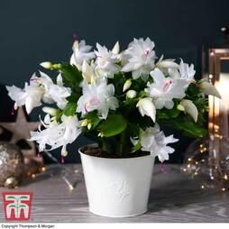 Christmas Cactus White in Cream Zinc Pot - Gift