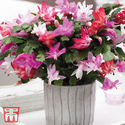 Christmas Cactus Tricolour - Gift