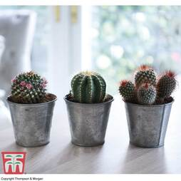Cactus Mixed Collection - Gift